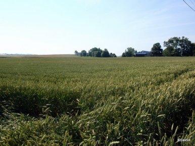 Campi di grano verso la lituania