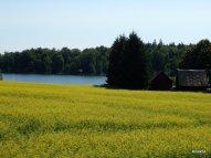 Pianura Estone a Colza