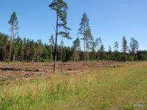 Lettonia boschi di conifere