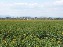 Slovacchia campi di girasoli